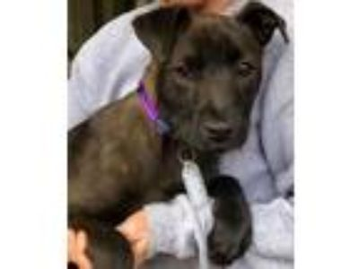 Adopt Adelaine - gorgeous puppy a Labrador Retriever, Terrier