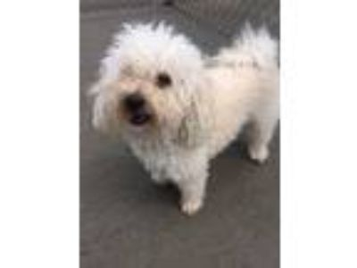 Adopt Emma a White Miniature Poodle / Mixed dog in Naperville, IL (25297834)