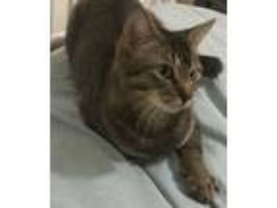 Adopt Maria a Brown Tabby Domestic Shorthair (short coat) cat in Port Charlotte