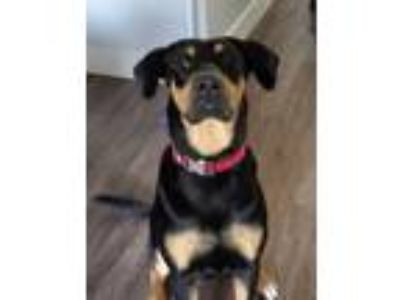 Adopt Shelby (C-JQ) a Black - with Brown, Red, Golden, Orange or Chestnut