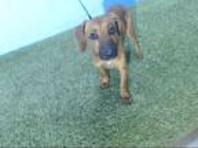 Adopt PLUTO a Brown/Chocolate Dachshund / Mixed dog in Orlando, FL (25555218)