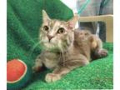 Adopt Clementine a Domestic Short Hair