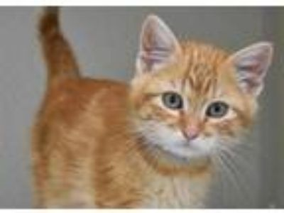 Adopt BEEZY a Orange or Red Tabby Domestic Shorthair / Mixed (short coat) cat in