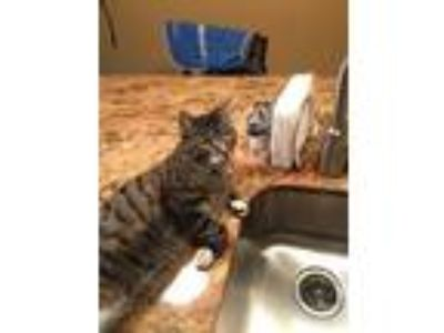 Adopt Jeter - Courtesy Posting a Domestic Short Hair