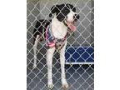 Adopt Buddy a Black Great Dane / Mixed dog in Greenville, GA (25909396)