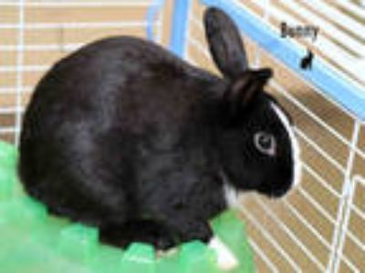 Adopt BAD BUNNY a Black Other/Unknown / Mixed rabbit in Fort Myers