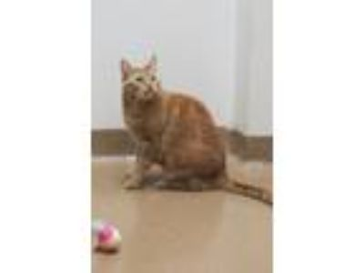 Adopt Cashmere (RARE Orange Female Tabby) a Domestic Short Hair, Ocicat