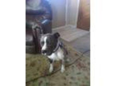 Adopt Kane a Merle American Pit Bull Terrier dog in Kansas City, MO (25515910)