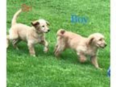 Adopt Levi and Lola a Tan/Yellow/Fawn Goldendoodle / Mixed dog in Richmond
