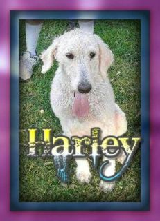 Harley Male F3 Labradoodle