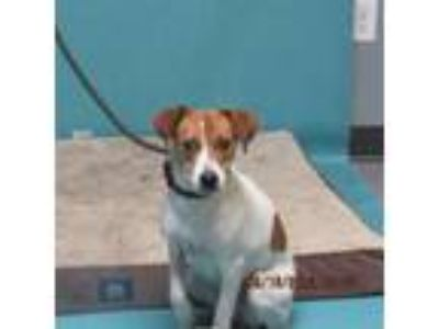 Adopt Arya a Tan/Yellow/Fawn Jack Russell Terrier dog in Oshkosh, WI (25294431)