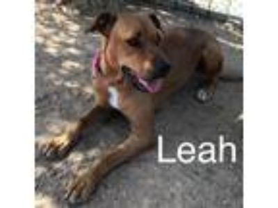 Adopt Leah a Brown/Chocolate - with White Labrador Retriever / Mixed dog in