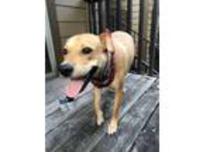 Adopt Diver a Tan/Yellow/Fawn Labrador Retriever dog in Austin, TX (25070198)