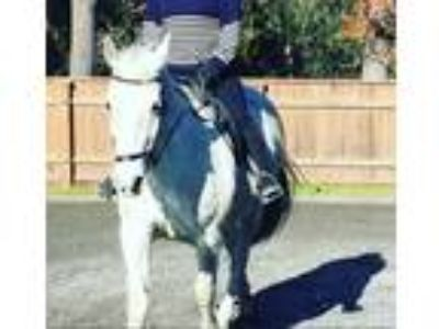 Lipizzaner for Partial Lease