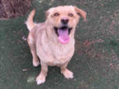 Adopt CHASE a Tan/Yellow/Fawn Golden Retriever / Mixed dog in Lancaster