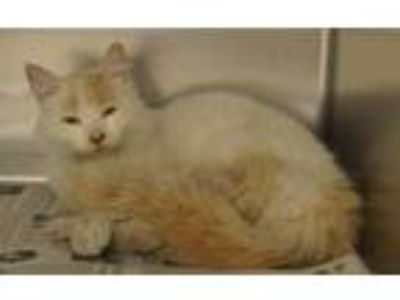 Adopt 59099 Cici a White Domestic Mediumhair / Domestic Shorthair / Mixed cat in