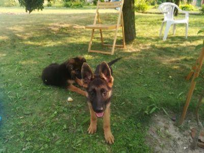 4x Beautiful German Shepherds
