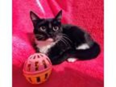 Adopt Suz-Anne & Kendall a Domestic Short Hair, Tabby