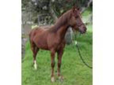 Adopt Tex a Paint/Pinto / Mixed horse in Monterey, CA (24749141)