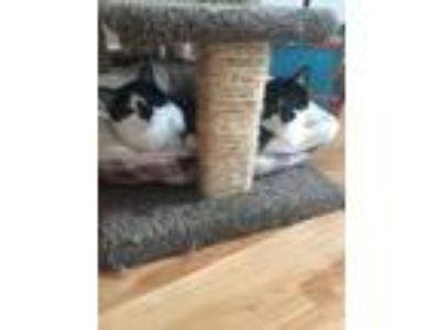 Adopt Robin & Starfire a Domestic Short Hair