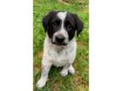 Adopt Ernie Ball a Bluetick Coonhound, Border Collie