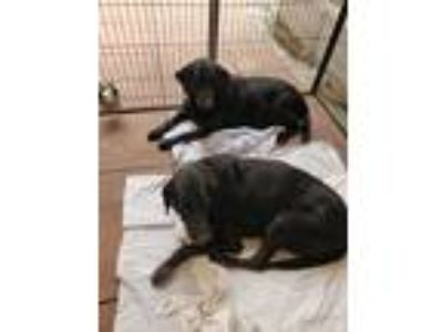 Adopt Zoomie and runner a Black Labrador Retriever / Mixed dog in Rancho