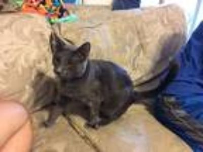 Adopt E.V. a Gray or Blue Domestic Shorthair / Mixed cat in Urbana