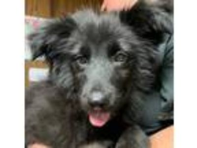 Adopt Kia a Collie, Labrador Retriever
