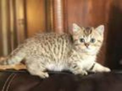 British Shorthair Golden Tabby Male Kitten