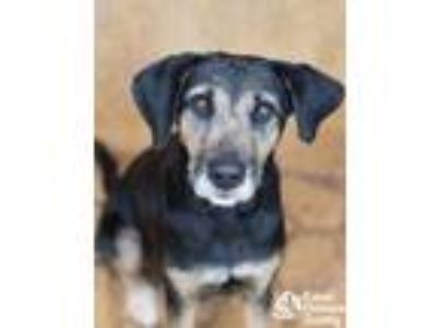 Adopt Wahine a Black Shepherd (Unknown Type) / Airedale Terrier / Mixed dog in