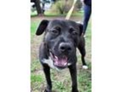 Adopt Richie a Labrador Retriever, Terrier