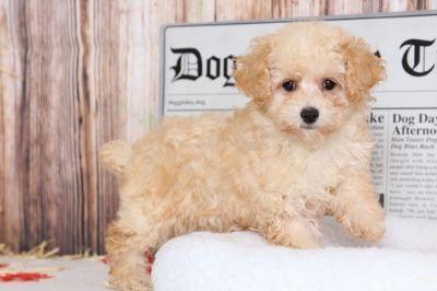 Poodle (Miniature) PUPPY FOR SALE ADN-100877 - Mimi Female Poodle