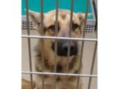 Adopt Finn a German Shepherd Dog