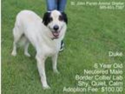Adopt Duke a White - with Black Labrador Retriever / Border Collie / Mixed dog