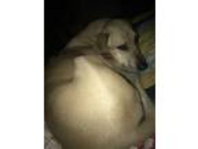 Adopt Sampson a Tan/Yellow/Fawn Labrador Retriever / Weimaraner / Mixed dog in