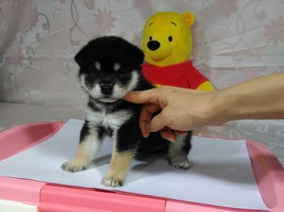 Shiba Inu PUPPY FOR SALE ADN-75205 - Champion level Black Shiba Inu puppy for SF LA
