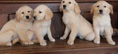 ***fully vet checked golden retriever puppies