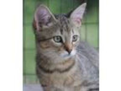 Adopt Cleo a Domestic Shorthair / Mixed (short coat) cat in North Fort Myers