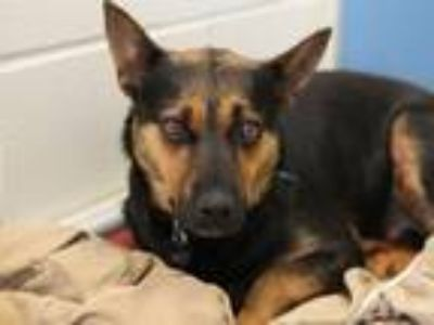 Adopt Opal a Shepherd (Unknown Type) / Mixed dog in Virginia Beach