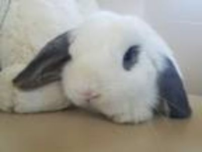 Adopt Winnifred a White Mini Lop / Mixed (short coat) rabbit in Los Angeles