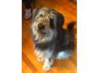 Adopt Buddy a Wirehaired Terrier