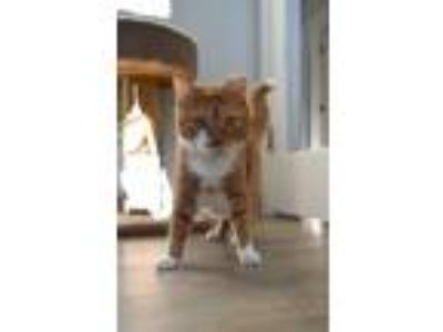 Adopt Bismark a Domestic Short Hair