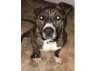 Adopt Tyson a Brindle Pit Bull Terrier / Bull Terrier / Mixed dog in Albemarle