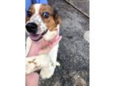 Adopt BRITTANY SPEARS H WILSON a Brittany Spaniel, Mixed Breed