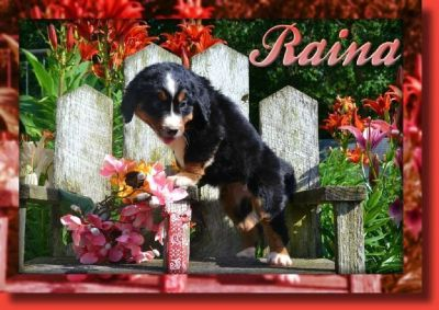 Raina Female Bernese Mountain Dog AKC