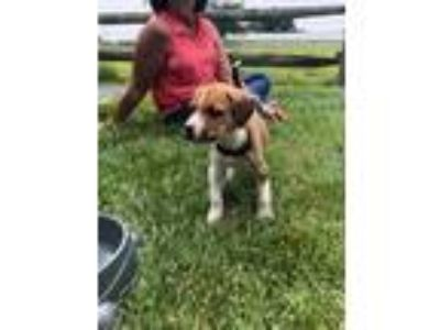 Adopt Hunter a Tan/Yellow/Fawn - with White Hound (Unknown Type) / Pit Bull