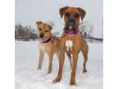Adopt Polly a Red/Golden/Orange/Chestnut - with Black Boxer / Mixed dog in