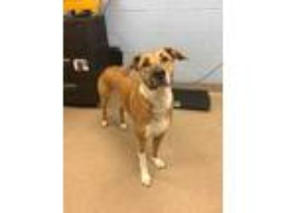 Adopt Jace a Tan/Yellow/Fawn Shepherd (Unknown Type) / Mixed dog in Chamblee