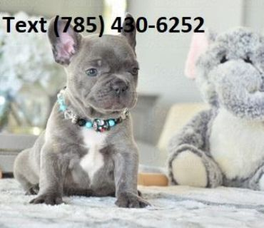 Family Raised French Bulldog Puppies To Good Homes.