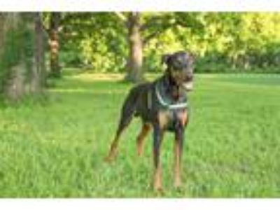 Adopt Lanny a Black - with Tan, Yellow or Fawn Doberman Pinscher / Mixed dog in